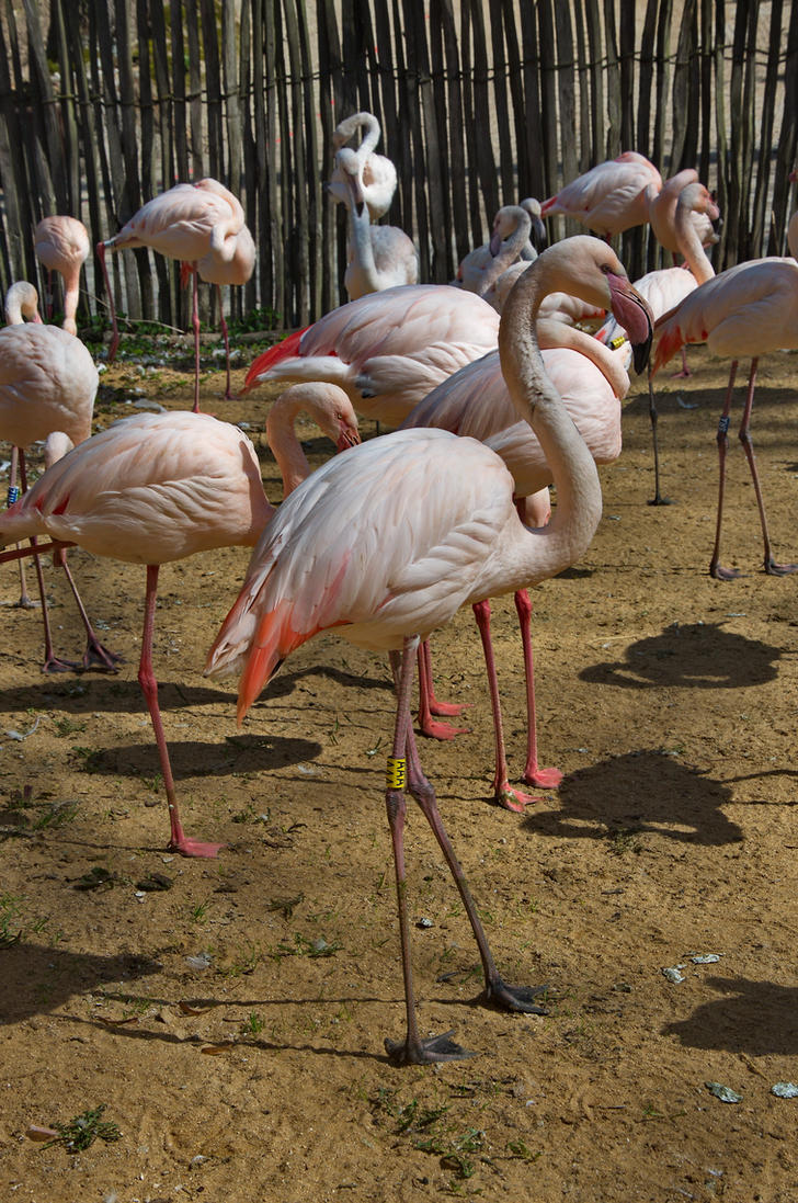 The greater flamingo by Serunate