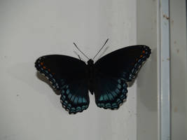 black and blue butterfly by Irie-Stock