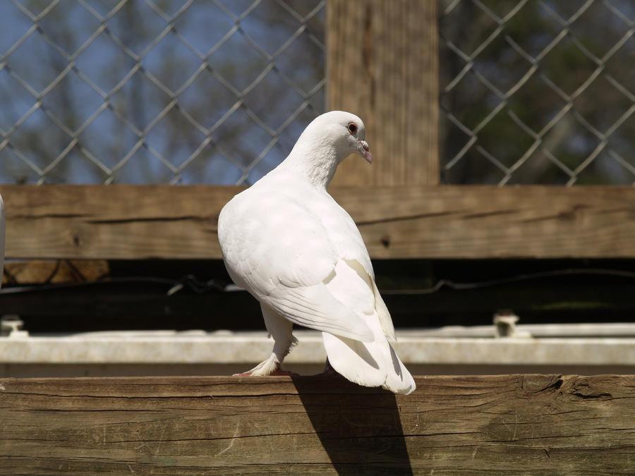 Dove by Irie-Stock