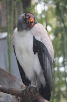 some kind of Vulture by Irie-Stock