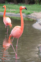 Flamingo A by Irie-Stock