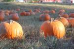Red Wolf Pumpkin Farm 1