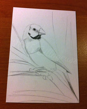 #007: male adult Gouldian Finch