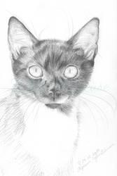 Ivo (shelter cat)