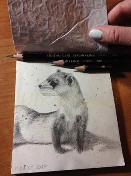 2017-02-01 Mustela nigripes (black-footed ferret)
