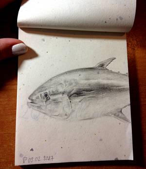 2017-02-03 Thunnus Thynnus (Atlantic Bluefin Tuna)