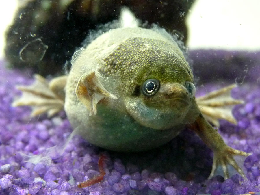 Xenopus Laevis My babe xenopus laevis by