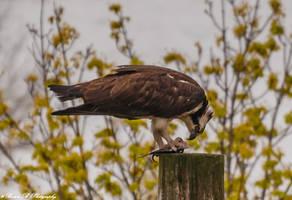 Lunenburg Osprey by Brian-B-Photography