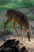 Dauset Deer 2 by LinzStock