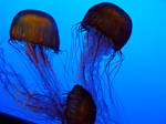 Jelly Fish 07