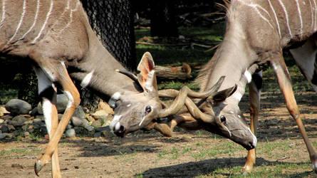 Fight Amongst the Kudu