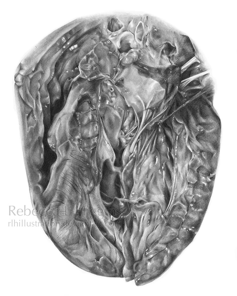 Atrial and Ventricular Diastole by rlhIllustration