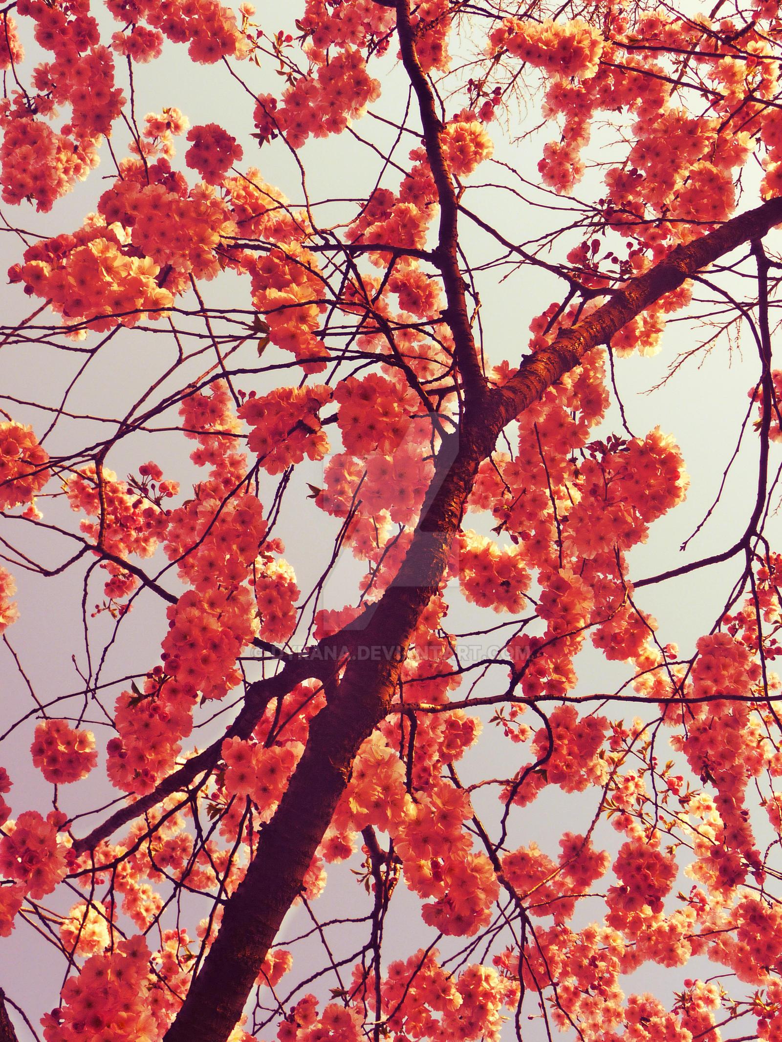 red cherry blossom by dyrana on deviantart
