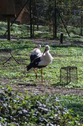 Storks in spring