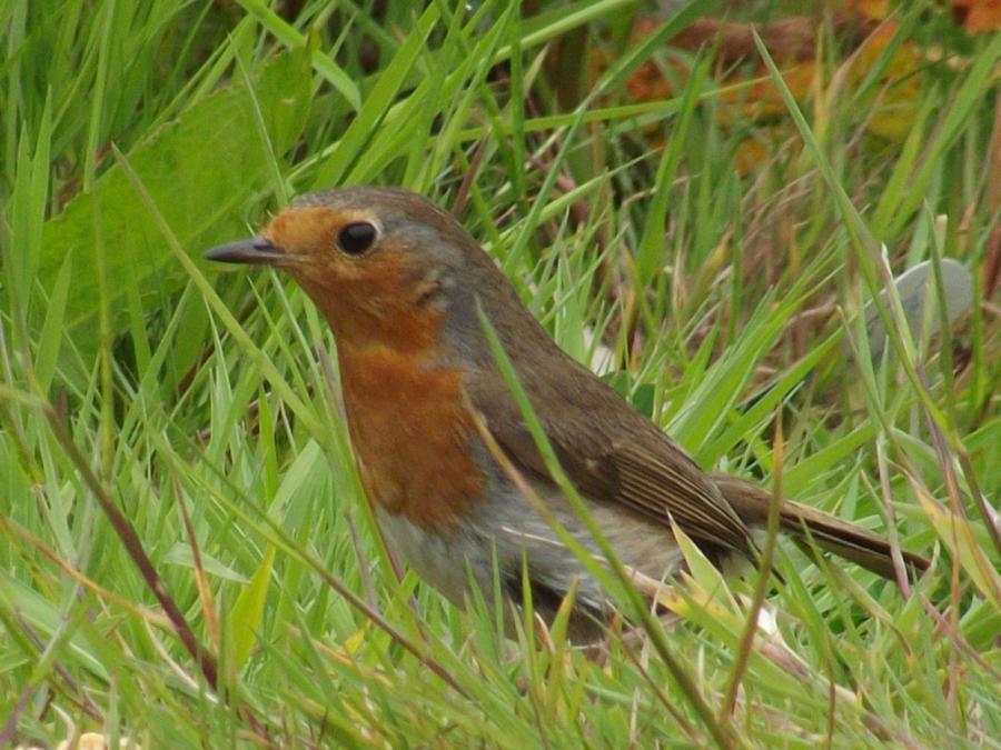 kernow wildlife/ robin by kernowtokyojoe