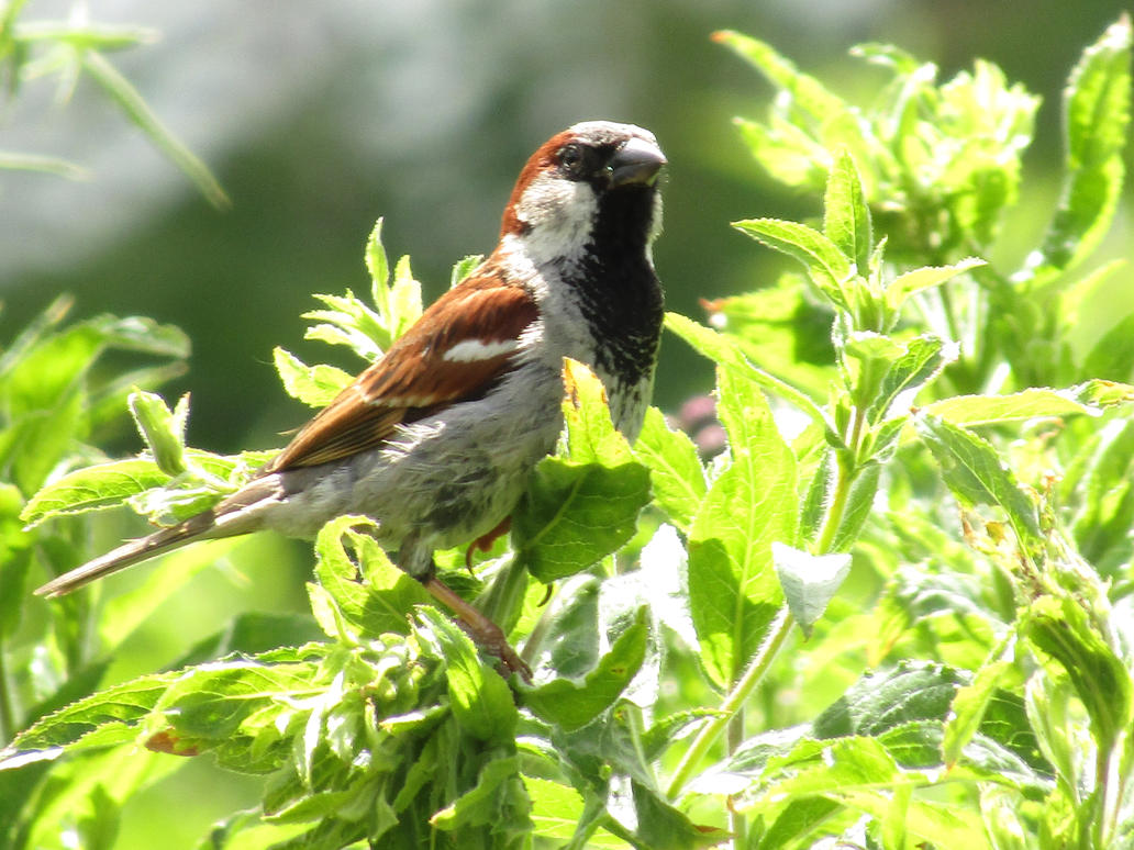 Male House Sparrow by aimsy19
