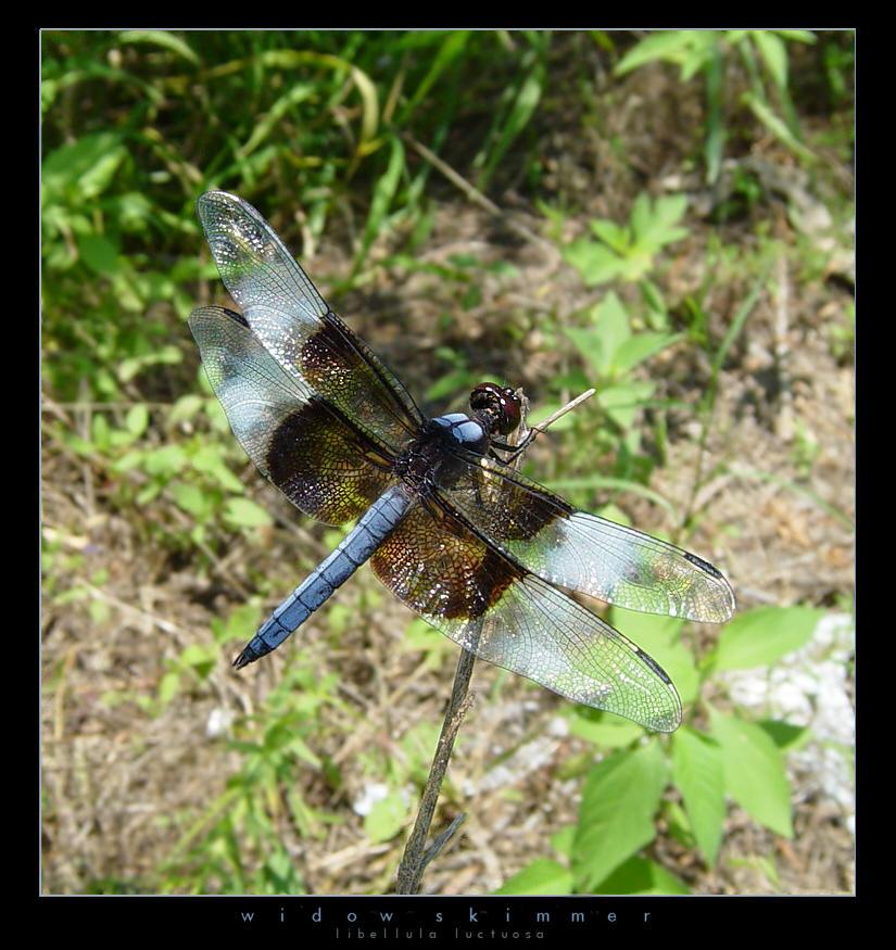 Widow Skimmer by cbpics