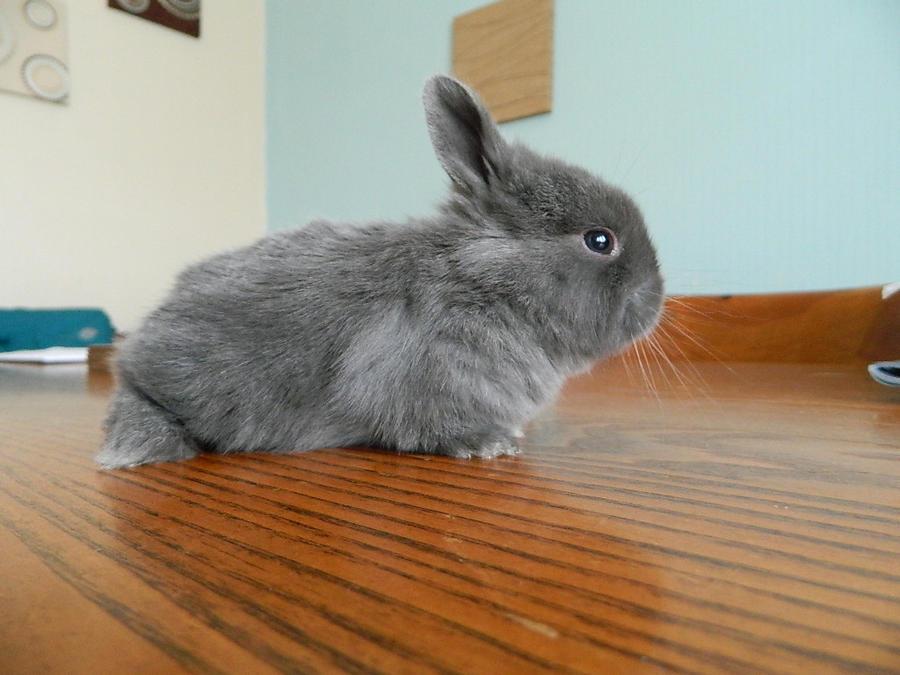 Baby Rabbit - 3 weeks ...