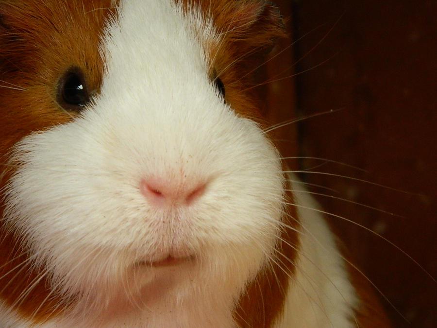 Amy the Guinea Pig 2 by Saffie-Chan