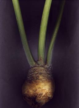 Celery Root No.2