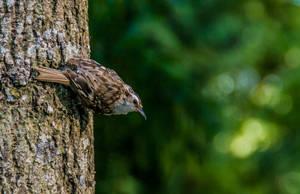 Eurasian treecreeper by Firesoul-LV