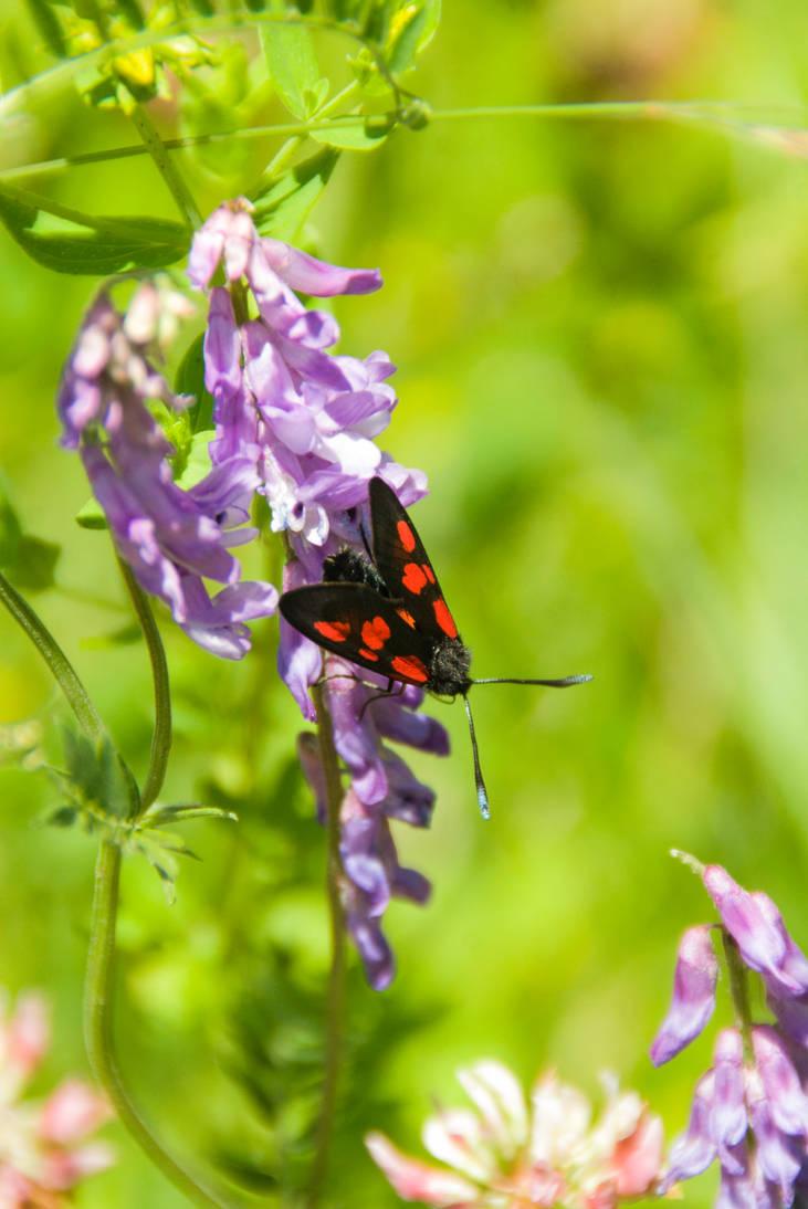 Burnet moth by Firesoul-LV