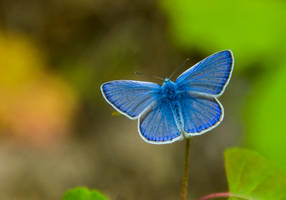 Common blue by Firesoul-LV
