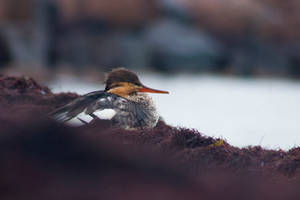 Red-breasted Merganser by Firesoul-LV