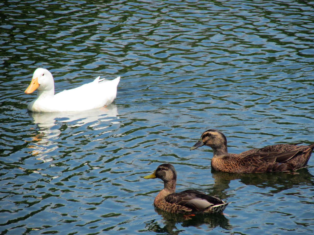 Group Of Ducks By Teleman8 On Deviantart