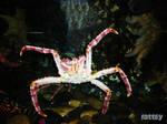 The Crab - Yengec - Alaska