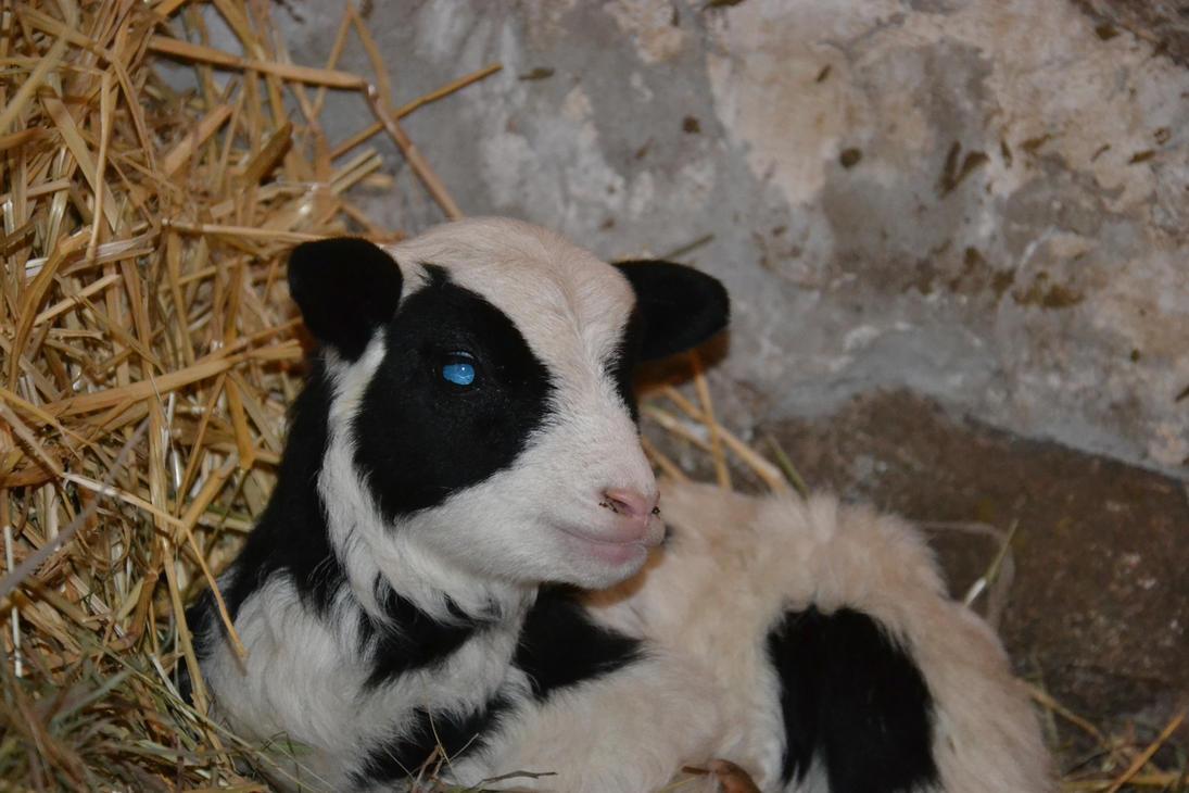 Shetland Sheep X by consideritfox