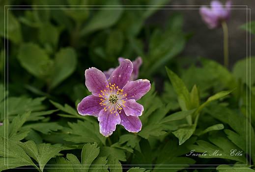 Anemone nemorosa - Wood anemone - Bosanemoon