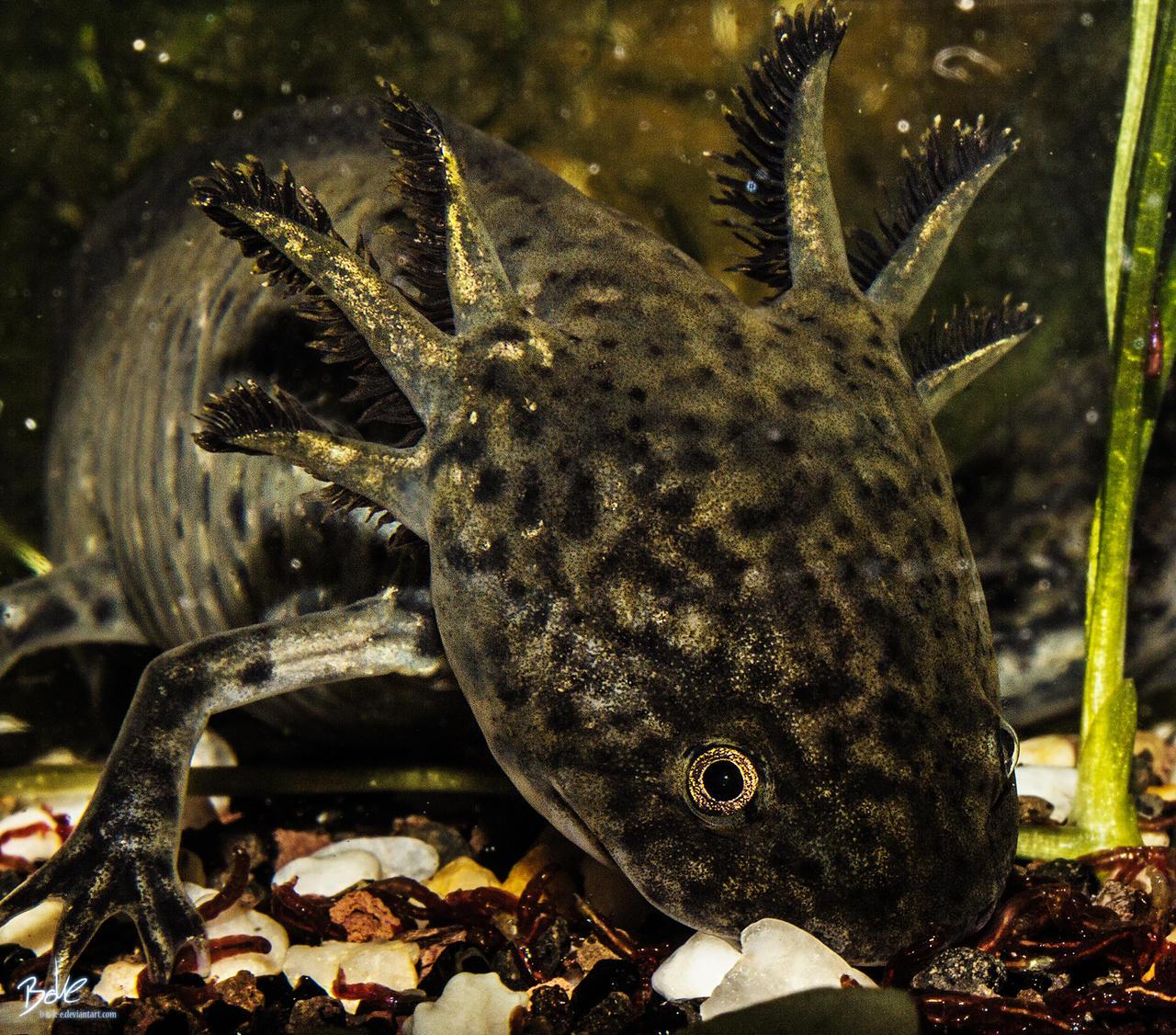 Axolotl by B-O-K-E