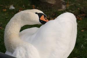 Swan 4 by KarinClaessonArt