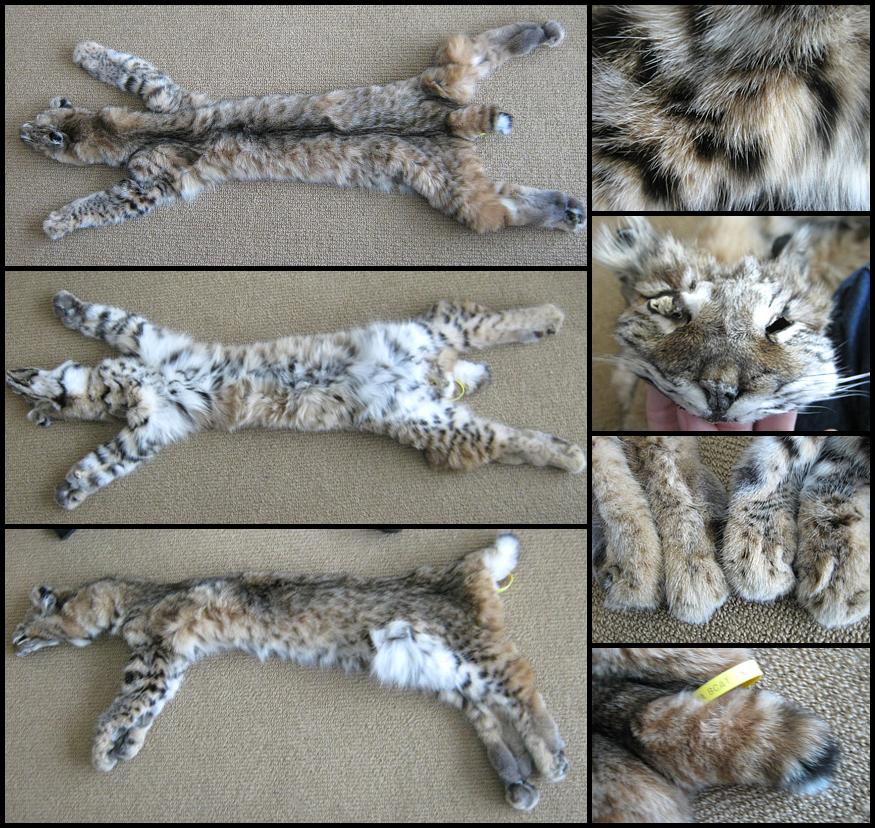 Markus The Bobcat By Bay Lynx