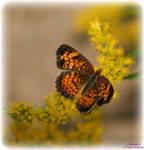 Little Orange Butterfly
