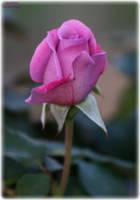 Lt Purple Rose by panda69680102