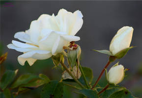 White Rose and Bud by panda69680102