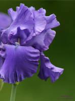 Purple Iris by panda69680102