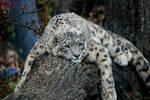 Lazy Leopard 1 by panda69680102