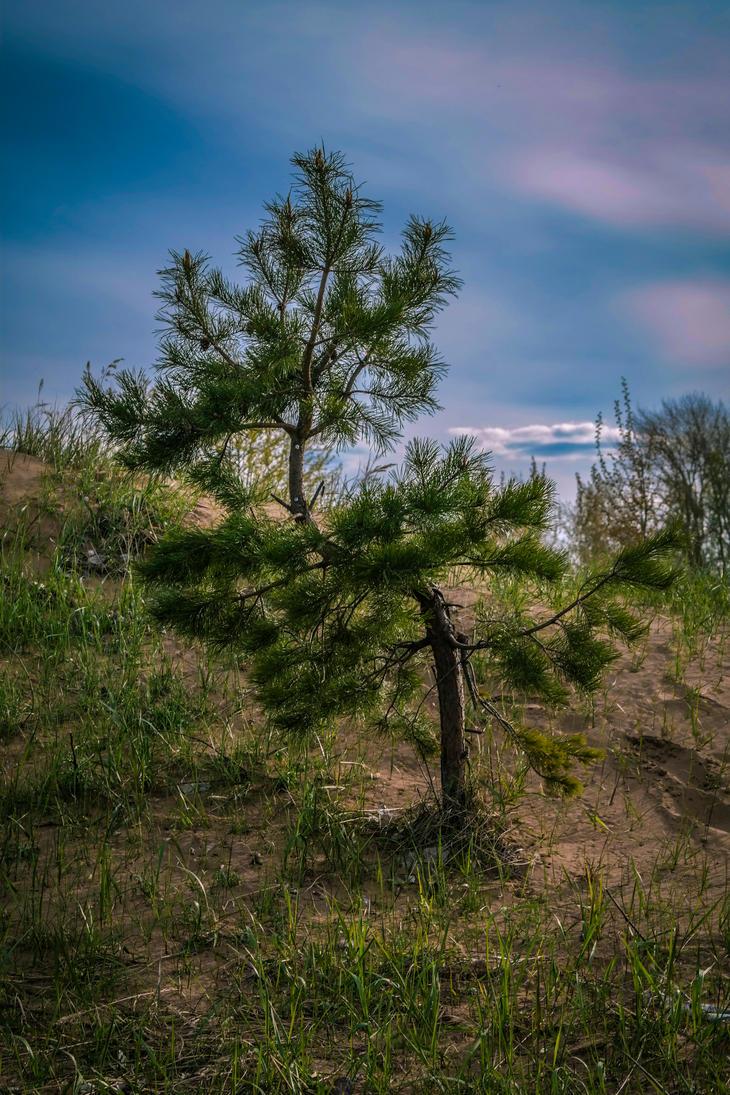 Pine by DiZa-74