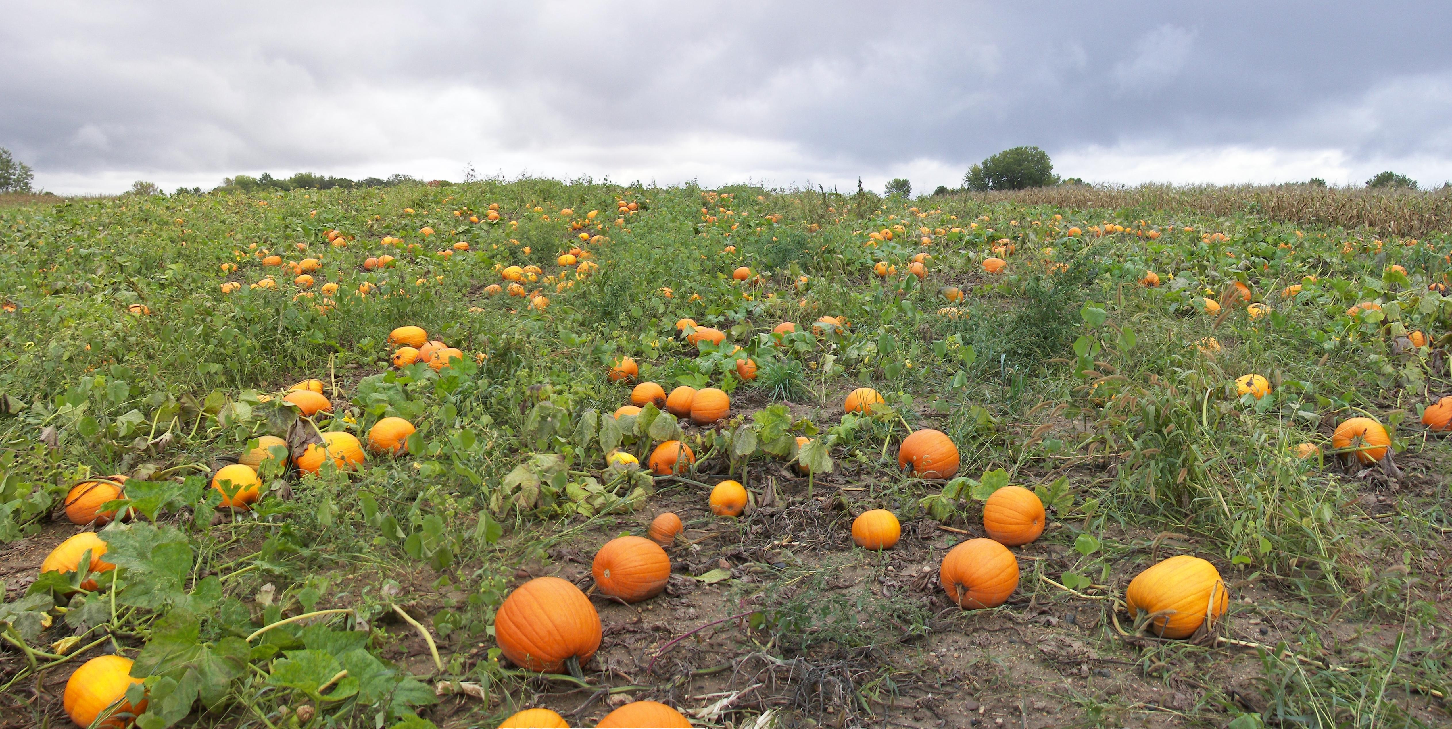 Pumpkin Patch By Archangelical-Stock On DeviantArt