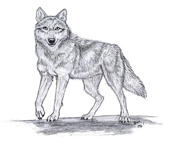 how to draw a grey wolf