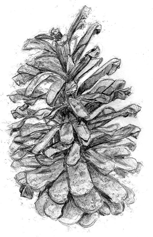 Pine Cone Sketch Pine cone ii by mags-pi