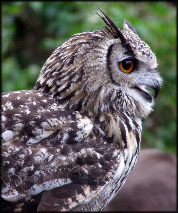 Registracija. Owl_Closeup_by_shiningstar25