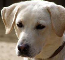 Golden Labrador by shiningstar25