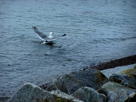 Bathing Seagull