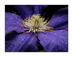 My very own Clematis by 1bgpayne