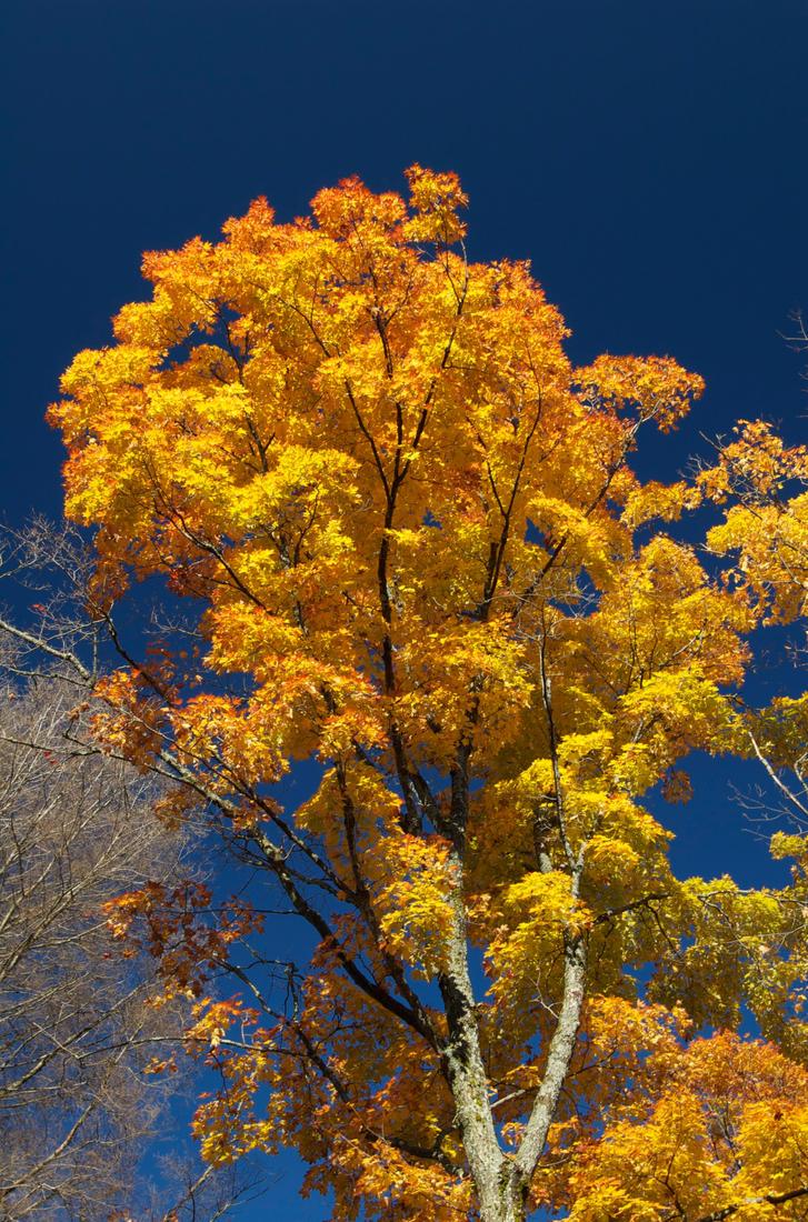 Yellow Tree by odhinnsrunes