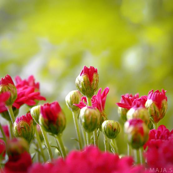 Fleurs. Flowers_by_ExtraoridnaryGirl